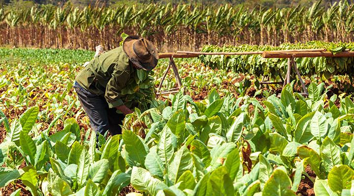 Cuba tabak landbouw