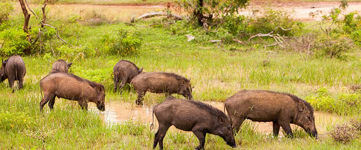 Sri Lanka Yala nationaal park