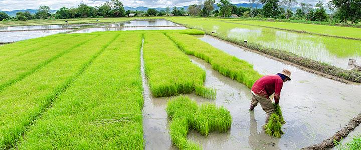 Rijstveld Thailand