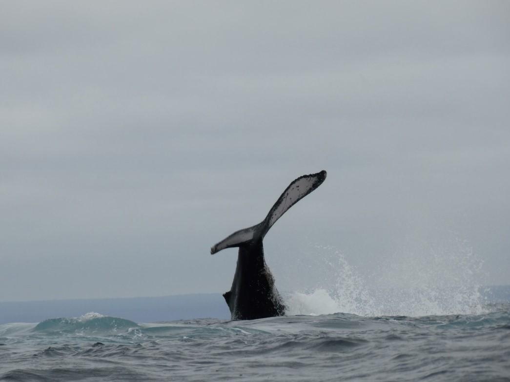 Orka bij de Galapagos eilanden