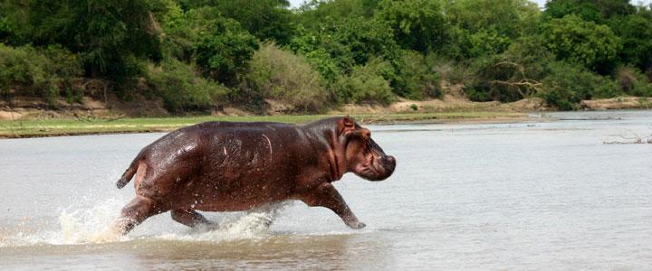Nijlpaard in Zuid-Afrika