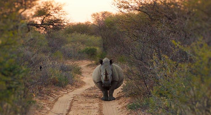 neushoorn in het wild