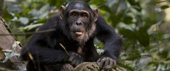 Chimpansee in Uganda