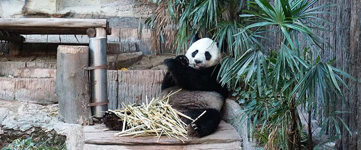 Chiang Mai panda
