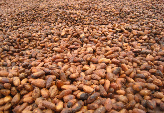 Large_cacao-beans