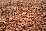 News_big_cacao-beans