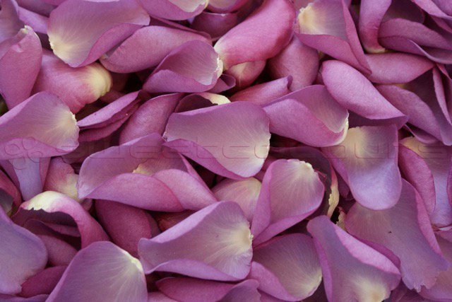Freeze Dried Rose Petals Mauve