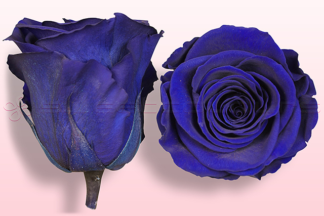 Preserved roses Dark blue