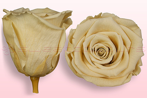 Product box rose amor  preserved roses  champagne