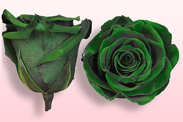 Geconserveerde rozen Donkergroen