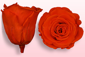 Product box rose amor  preserved roses  orange