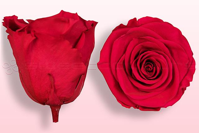 Roses conservées Cerise foncé