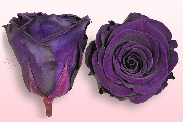 Preserved roses Purple