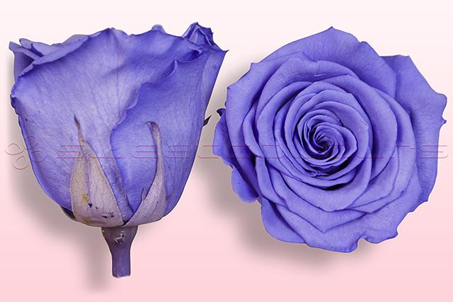 Konservierte Rosen Lila