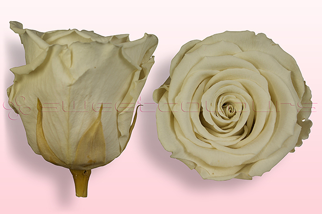 Preserved roses Off white