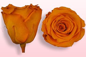 Rosas preservadas Amarillo oscuro