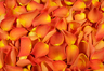 Freeze dried rose petals Dark orange