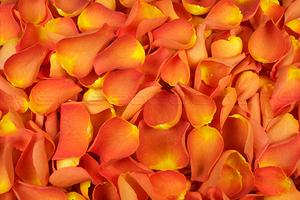 Petalos de rosa liofilizados Naranja oscuro