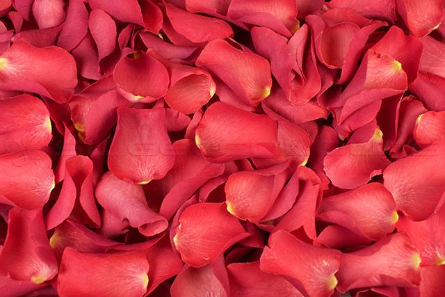 Petalos de rosa liofilizados Coral