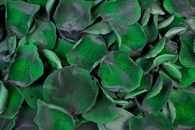 Pétalos de rosa preservados de color Verde oscuro