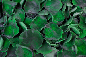 Preserved rose petals Dark green
