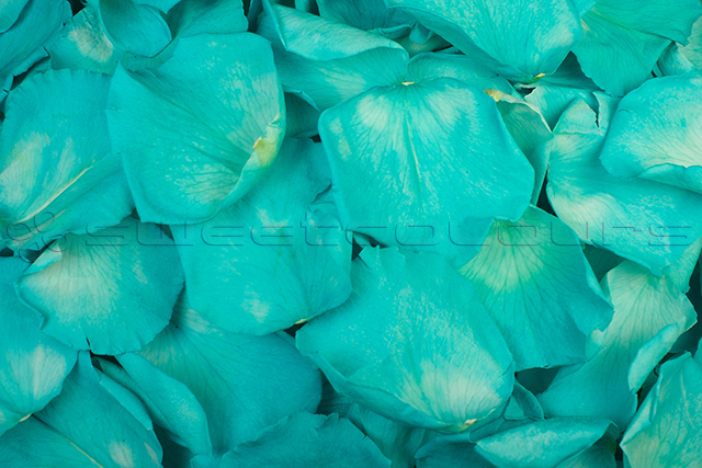 Preserved rose petals Turquoise