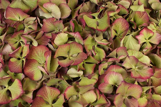 Hortensienblätter Antikgrün