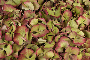 Product box hydrangea petals  vintage green