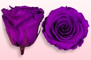 Product box rose amor  preserved roses  violet pink