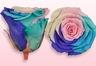 Konservierte Rosen Regenbogen Pastell