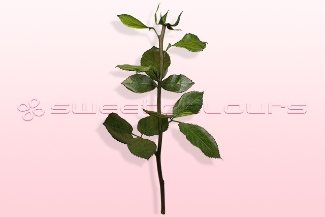 Preserved rose stem with leaves