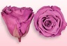 Rose stabilizzate di colore Lavanda