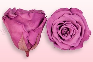 Product box rose amor  preserved roses  lavender
