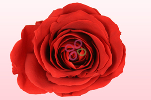 Product box preserved roses red