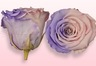 Preserved roses Light pink & lavender