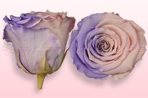 Product box rose amor  preserved roses  light pink   lavender