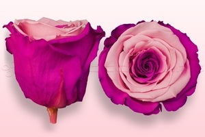 Product box rose amor  preserved roses  pink   dark pink