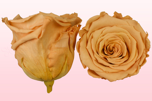 Product box rose amor  preserved roses  toffee