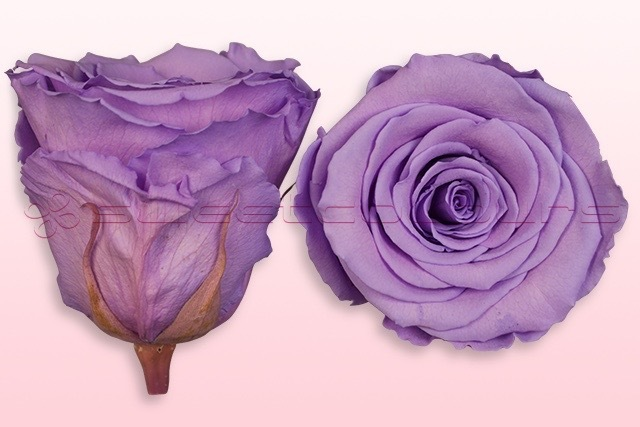 Roses conservées - Lavande pastel