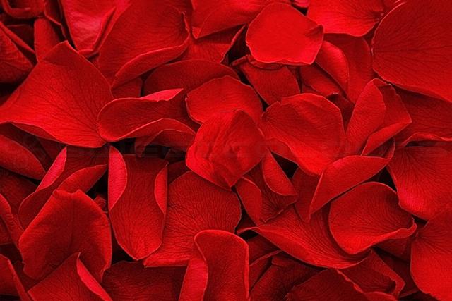 Konservierte Rosenblätter in der Farbe Rot