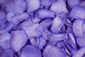 Konservierte Rosenblätter in der Farbe Lila