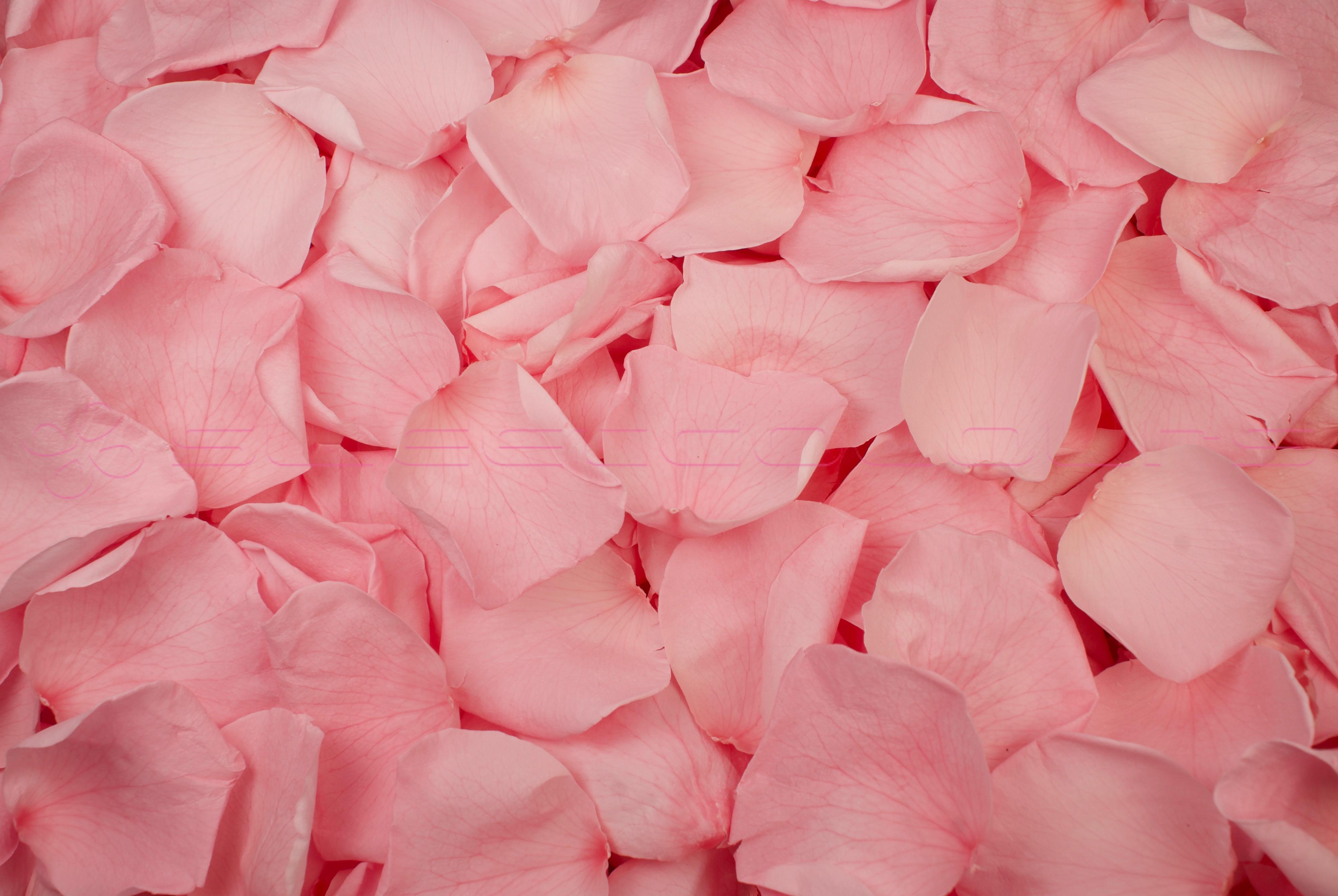 Petali di Rosa Stabilizzata di colore Rosa chiaro