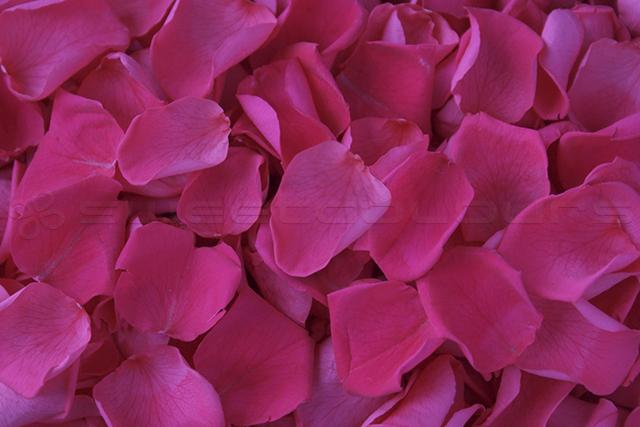 Konservierte Rosenblätter in der Farbe Fuchsia