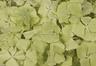 Pétalos de hortensia de color verde