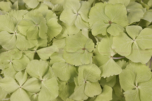 Product box hydrangea petals  green