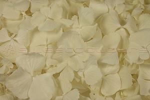 Product box hydrangea petals  ivory