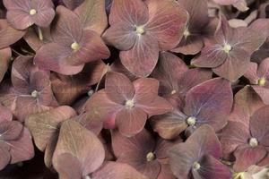 Hydrangea Petals Classic