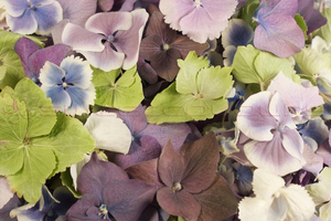 Product box hydrangea petals  mixed