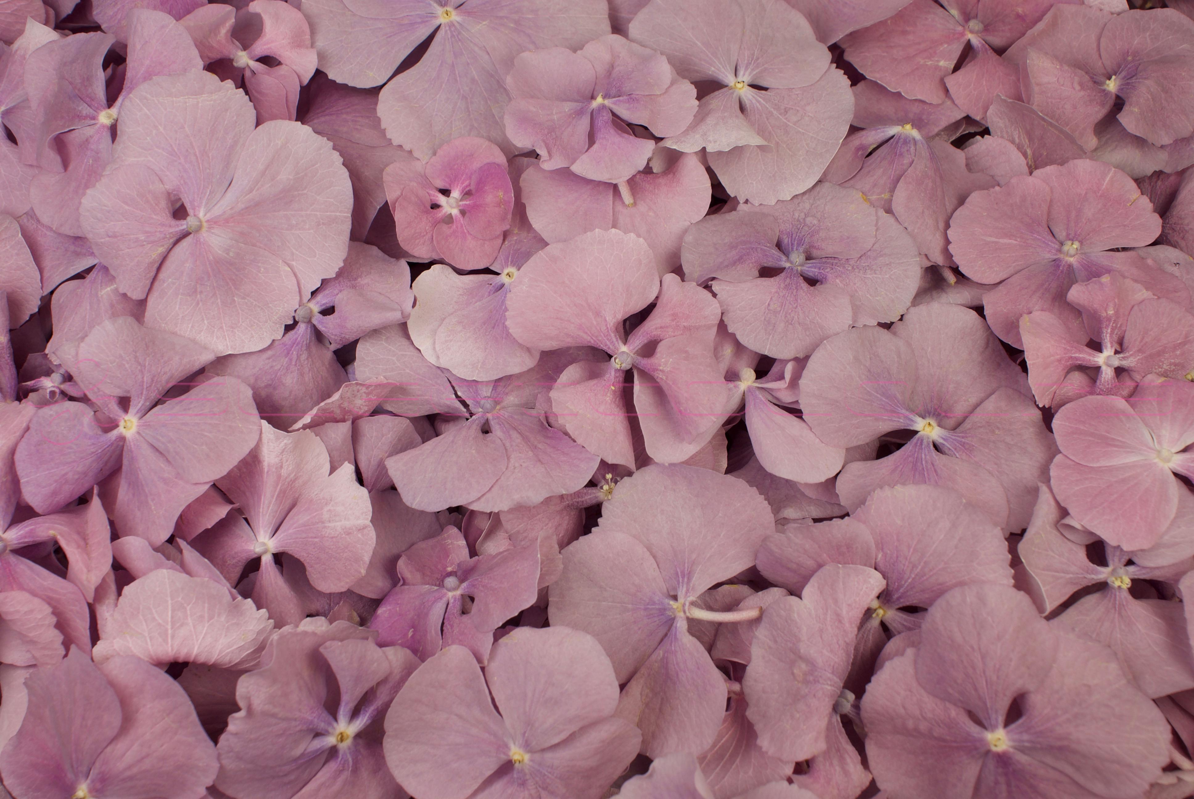 Pétales d'hortensias de couleur lavande