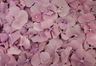 Pétalos de hortensia de color lavanda